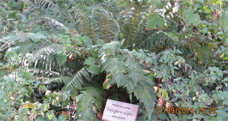 Polystichum dans la Vallée du Gouédic Fouger10