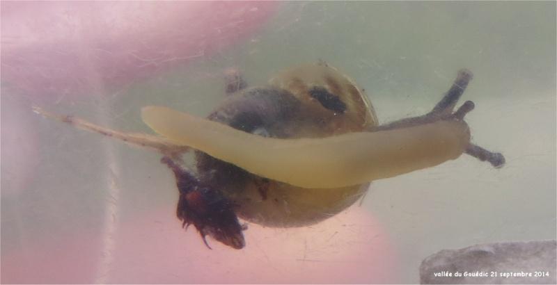 quel escargot marron et blanc dans la Vallée du Gouédic ?  Gouedi11