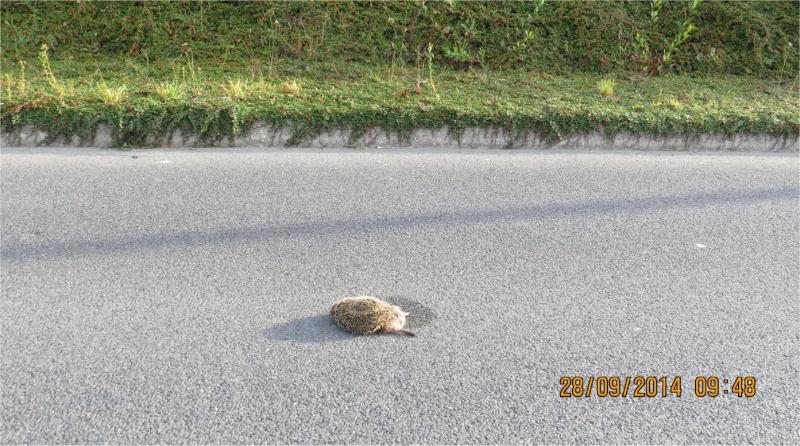 2 hérissons écrasés sur la rocade des Villages  Heriss15
