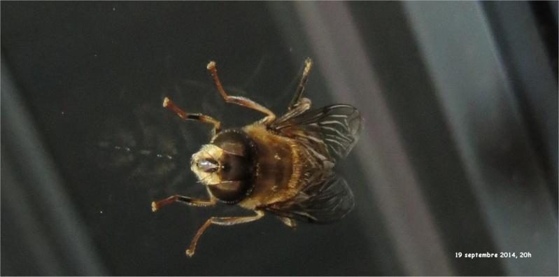 Diptère de la famille des Syrphidae rue de La Hunaudaye aux Villages  Insect32