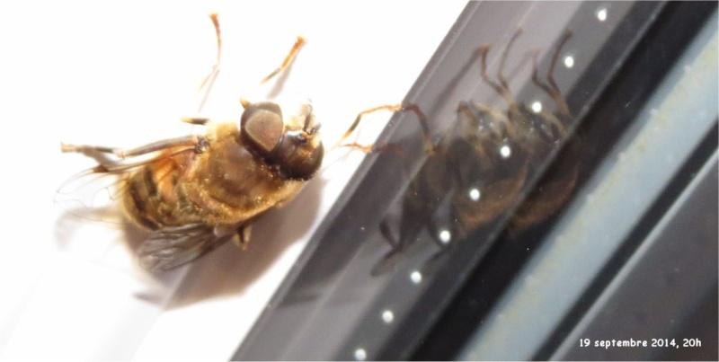 Diptère de la famille des Syrphidae rue de La Hunaudaye aux Villages  Insect33
