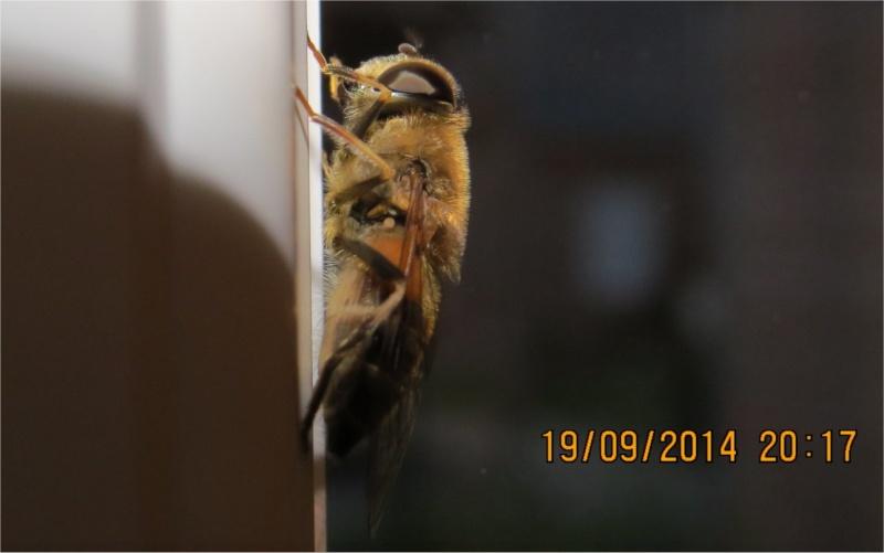 Diptère de la famille des Syrphidae rue de La Hunaudaye aux Villages  Insect35