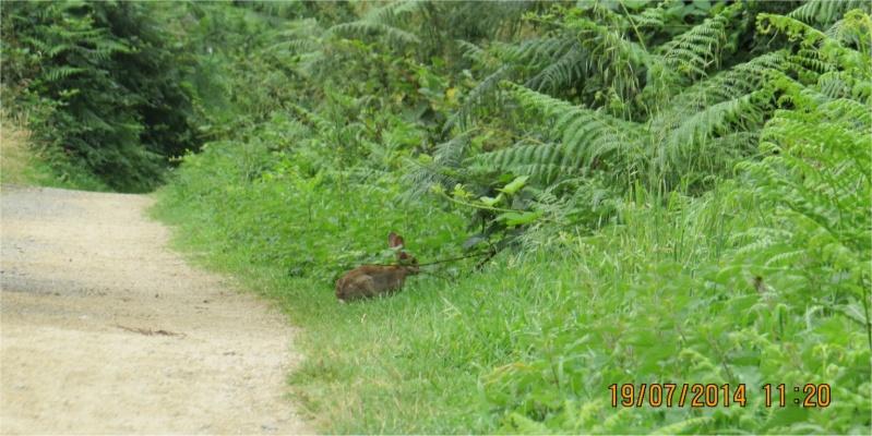 lapin sur le chemin longeant le Gouet côté rue Théodore Botrel (Croix-Lambert) Lapin_11
