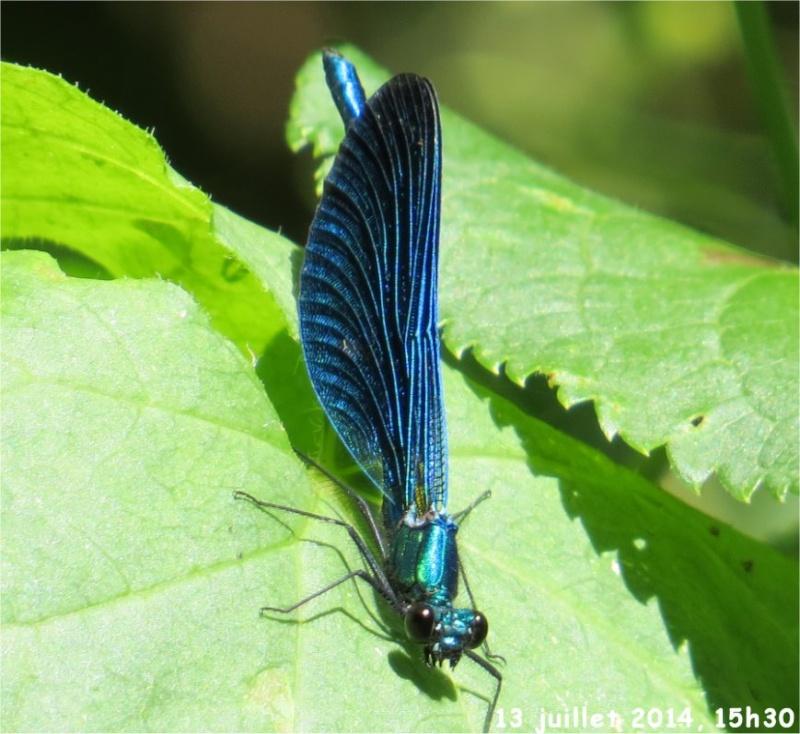 """libellules """"Caloptéryx vierge"""" (le long du Gouet, sur le chemin de la rue Théodore Botrel, longeant le centre hippique)  Libell11"""