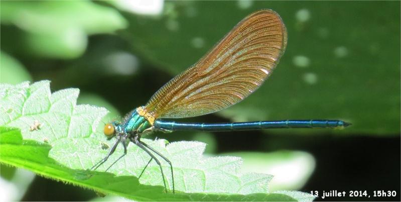 """libellules """"Caloptéryx vierge"""" (le long du Gouet, sur le chemin de la rue Théodore Botrel, longeant le centre hippique)  Libell12"""