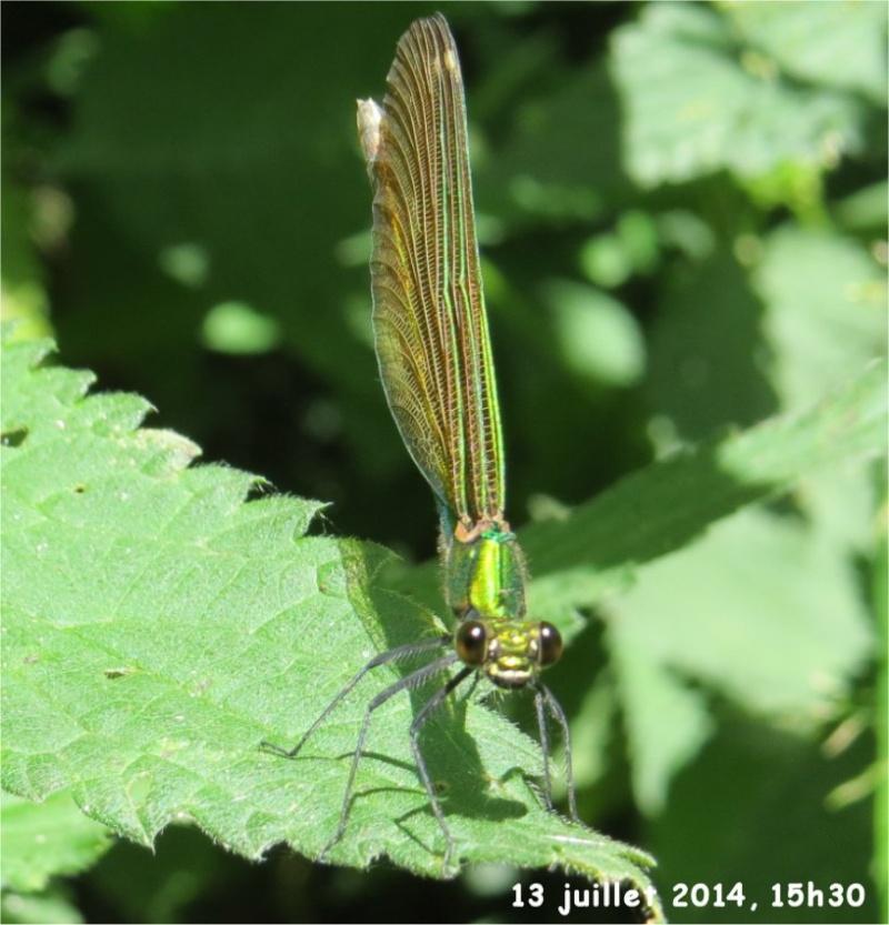 """libellules """"Caloptéryx vierge"""" (le long du Gouet, sur le chemin de la rue Théodore Botrel, longeant le centre hippique)  Libell13"""