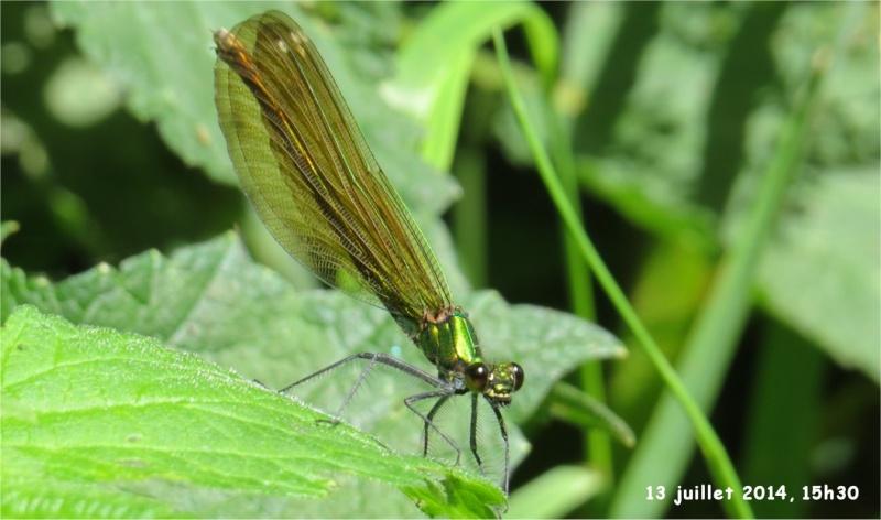 """libellules """"Caloptéryx vierge"""" (le long du Gouet, sur le chemin de la rue Théodore Botrel, longeant le centre hippique)  Libell14"""