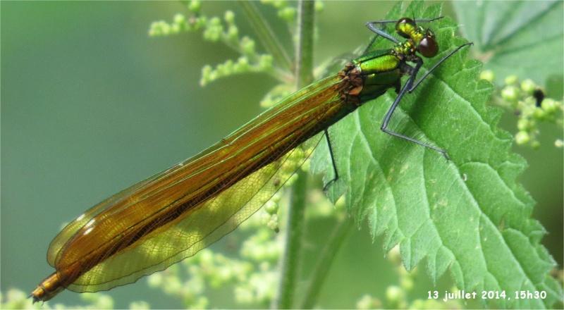 """libellules """"Caloptéryx vierge"""" (le long du Gouet, sur le chemin de la rue Théodore Botrel, longeant le centre hippique)  Libell15"""