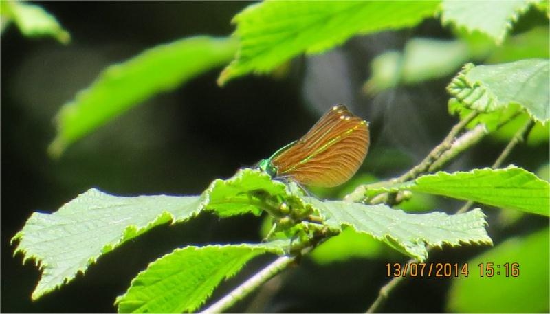 """libellules """"Caloptéryx vierge"""" (le long du Gouet, sur le chemin de la rue Théodore Botrel, longeant le centre hippique)  Libell16"""