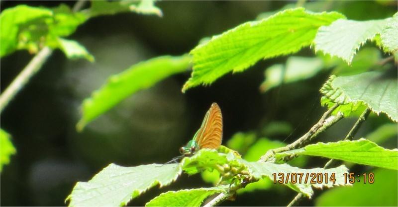 """libellules """"Caloptéryx vierge"""" (le long du Gouet, sur le chemin de la rue Théodore Botrel, longeant le centre hippique)  Libell17"""