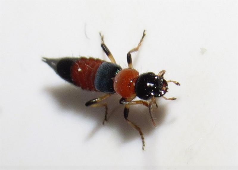 quel insecte orange et noir à pinces ? staphylin?  Long_i11