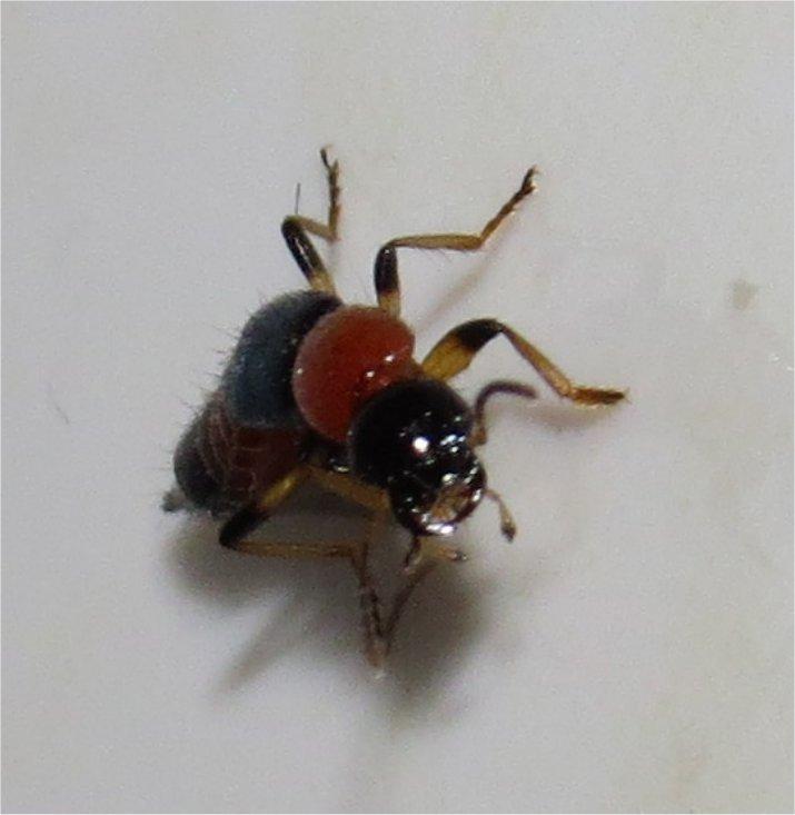 quel insecte orange et noir à pinces ? staphylin?  Long_i12