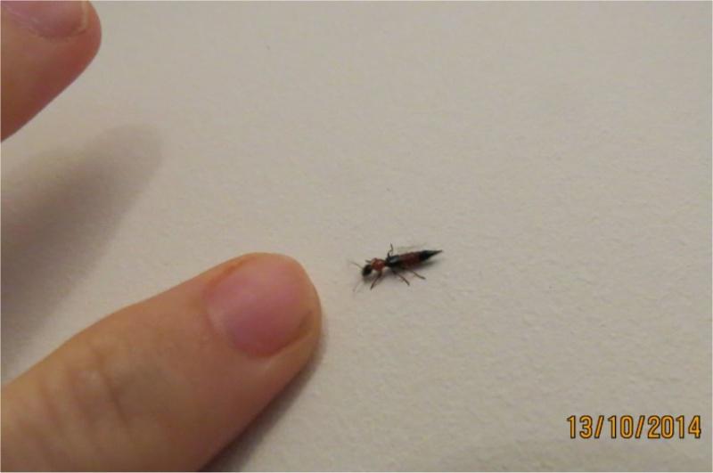quel insecte orange et noir à pinces ? staphylin?  Long_i13