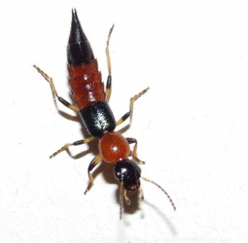 quel insecte orange et noir à pinces ? staphylin?  Long_i14