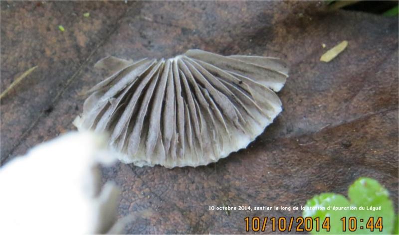 quel champignon blanc le long du sentier de la station d'épuration du Légué?  Long_s12
