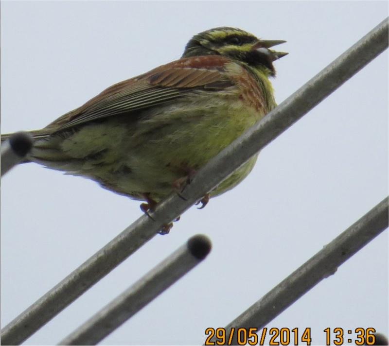 Bruant zizi mâle (Emberiza cirlus) rue de la Hunaudaye aux Villages Oiseau10