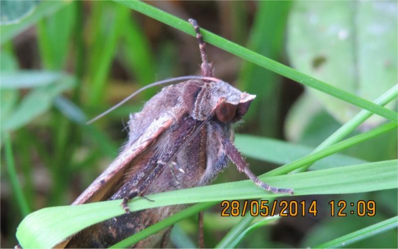 """Papillon Noctua pronuba (""""hibou"""") rue de La Hunaudaye aux Villages  Papill10"""