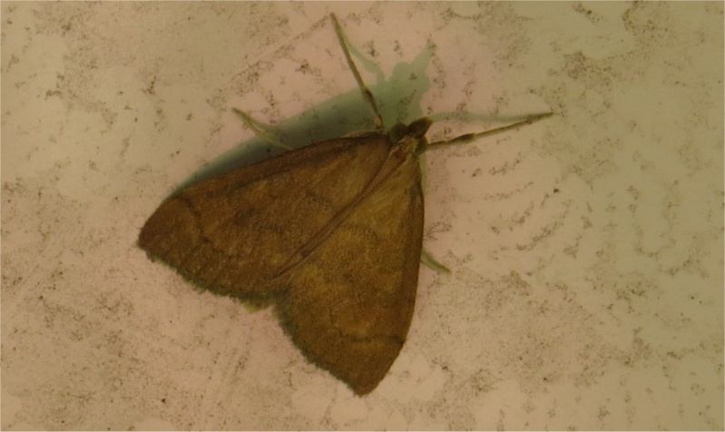 papillon de nuit rue Armel Beaufils (Croix-Lambert)  Papoil10