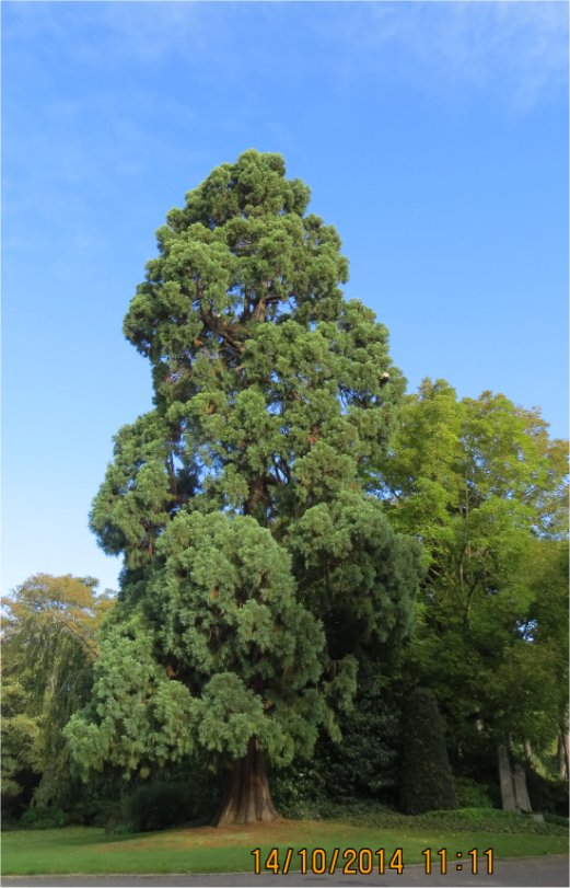 Sequoia au Parc des Promenades Parc_d18