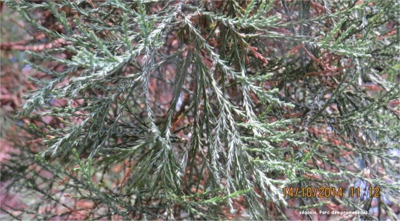Sequoia au Parc des Promenades Parc_d19