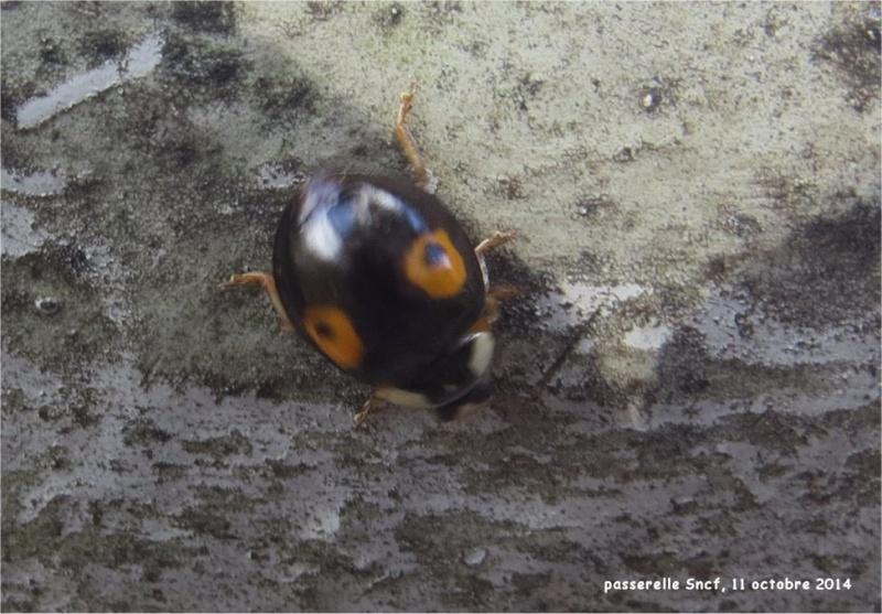 coccinelles asiatiques et araignée sur la passerelle Sncf (vallée du Gouédic) Passer16