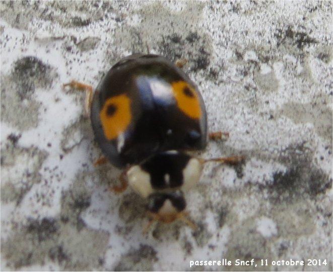 coccinelles asiatiques et araignée sur la passerelle Sncf (vallée du Gouédic) Passer17