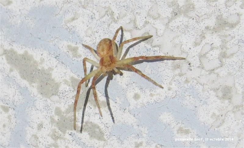coccinelles asiatiques et araignée sur la passerelle Sncf (vallée du Gouédic) Passer18