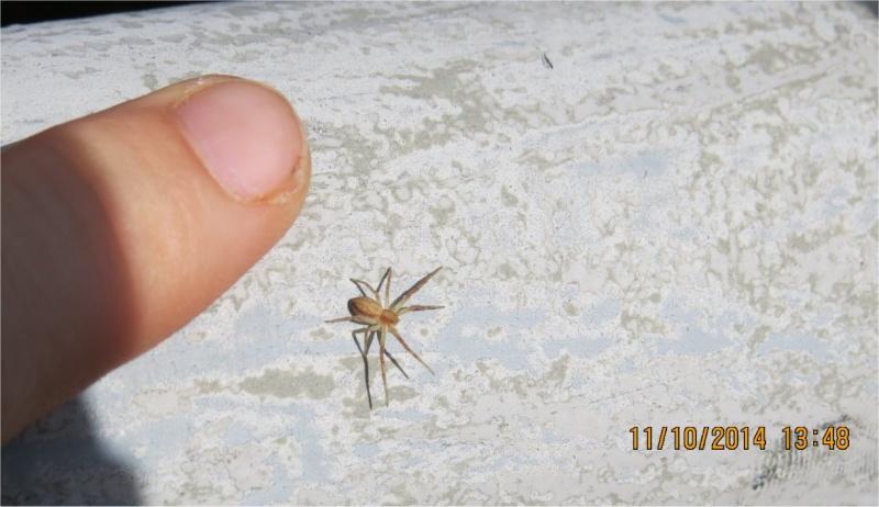 coccinelles asiatiques et araignée sur la passerelle Sncf (vallée du Gouédic) Passer19