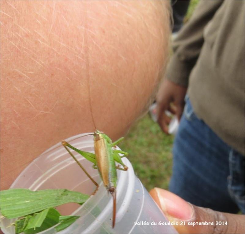 sauterelle Conocephalus discolor dans la Vallée du Gouédic Sauter14