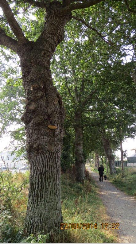 Festulina hepatica = Langue de bœuf chemin de La Ville-Juhel aux Villages Ville-12