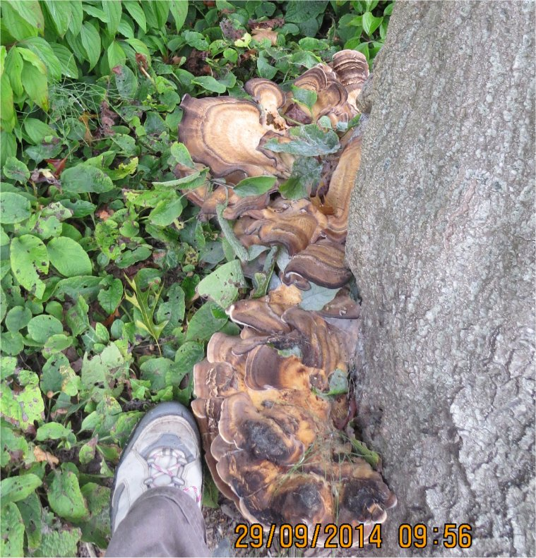champignon en forme de demi-lune à la base-nature de la Ville-Oger  Ville-18