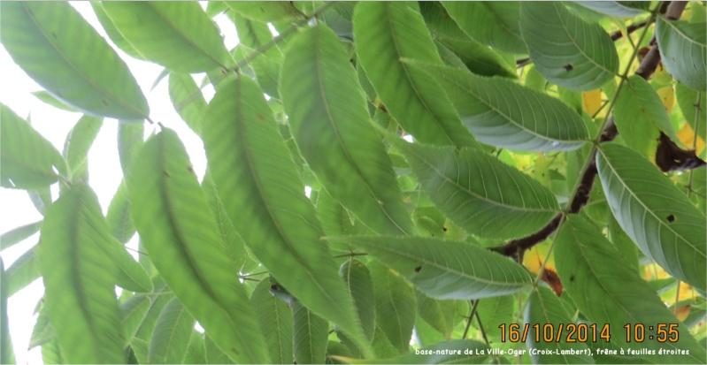 Frêne à feuilles étroites (base-nature de La Ville-Oger, Croix-Lambert) Ville_16