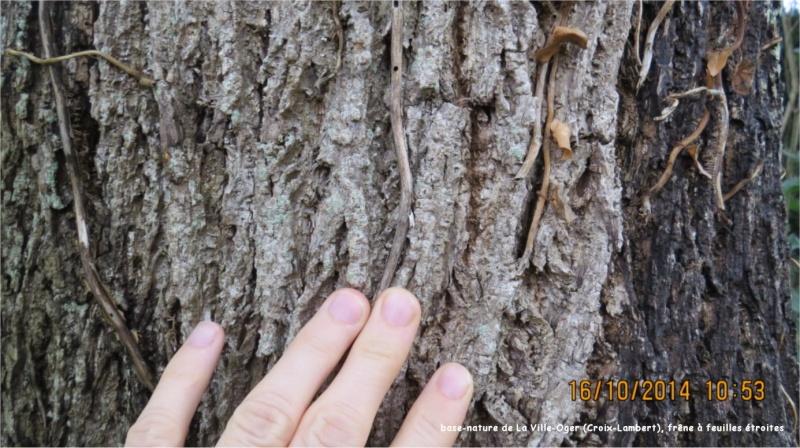 Frêne à feuilles étroites (base-nature de La Ville-Oger, Croix-Lambert) Ville_17