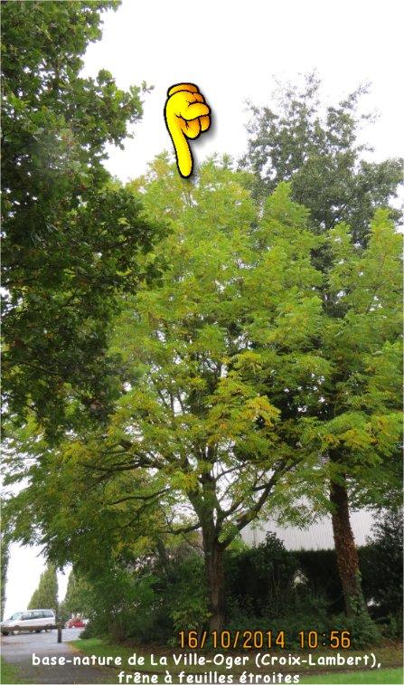 Frêne à feuilles étroites (base-nature de La Ville-Oger, Croix-Lambert) Ville_18