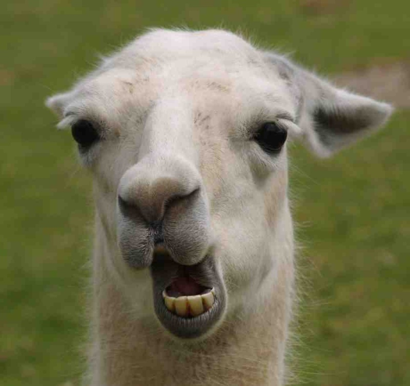 [Humour] Parce que rigoler, c'est rigolo Lama210