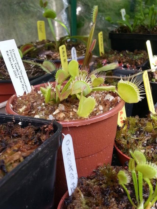 Dionaea Kay Backer 10401310