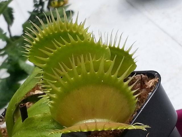 Dionaea Kay Backer 17975010