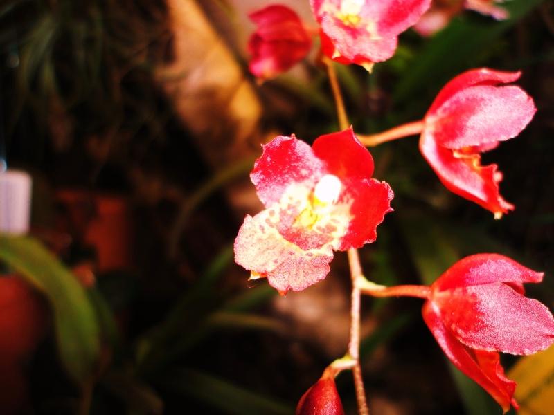 Miniatur- Orchideen - Seite 22 Hoewea10
