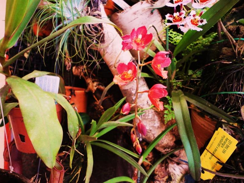 Miniatur- Orchideen - Seite 22 Hoewea11