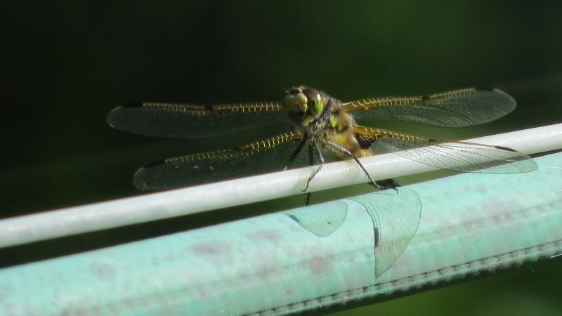 Éc losion de libellules !! Img_1312
