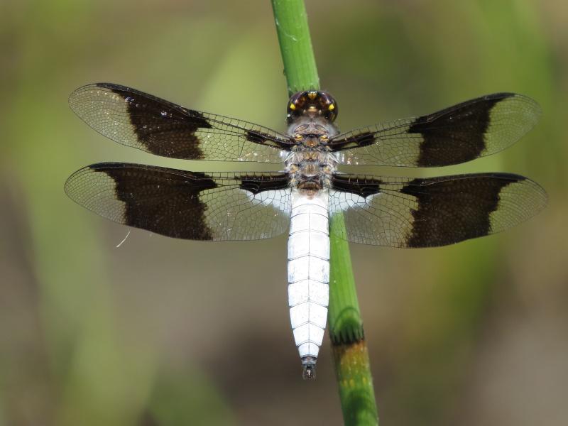 Plathemis lydia mâle ( Disons donc une libellule ) Img_1512