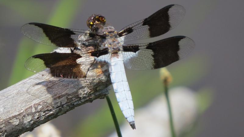 Plathemis lydia mâle ( Disons donc une libellule ) Img_1513