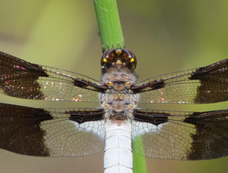 Plathemis lydia mâle ( Disons donc une libellule ) Img_1514