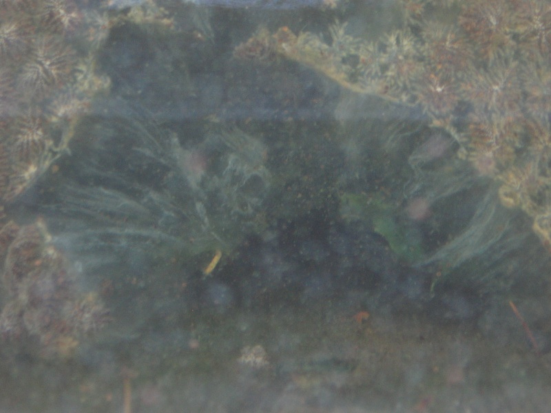 Bryozoaire d'eau douce - Pectinatella magnifica Img_8210