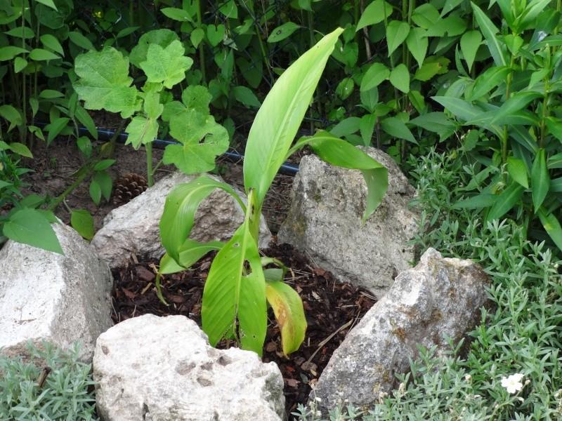 Bananengewächse (Musaceae) - Seite 4 02410