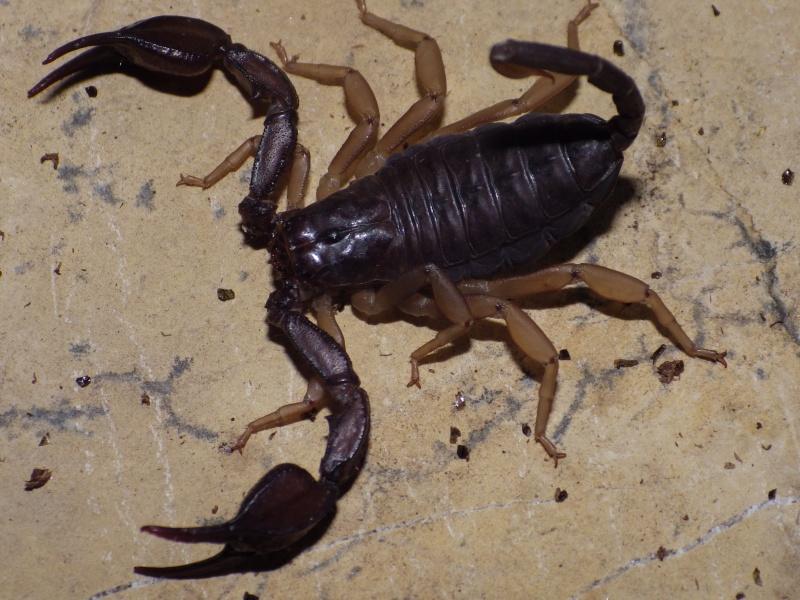 euscorpius flavicaudis Imgp1616