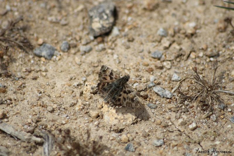 Quelques Lépidoptères vus aujourd'hui à l'éco quartier Beau soleil de St Avé. Img_0212