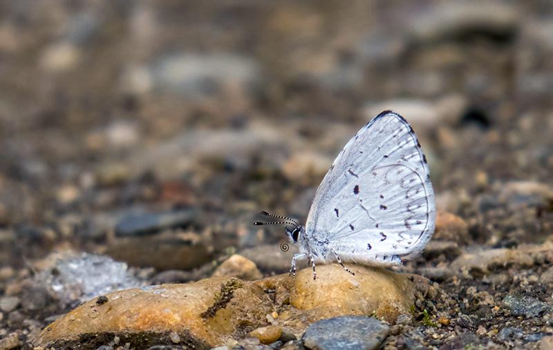 Azur printanier(Celastrina ladon lucia) Azur_p10