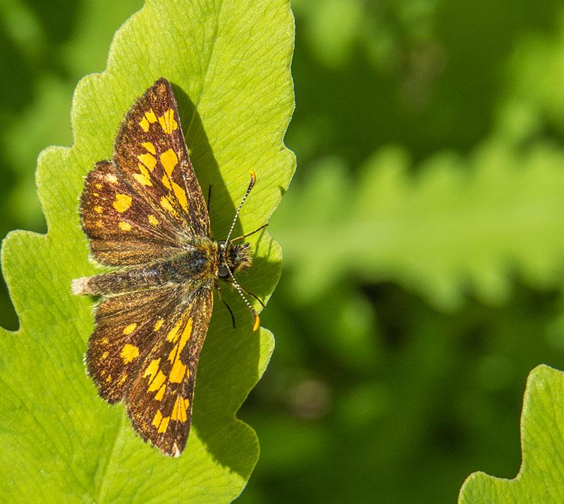 id - papillon Img_2510