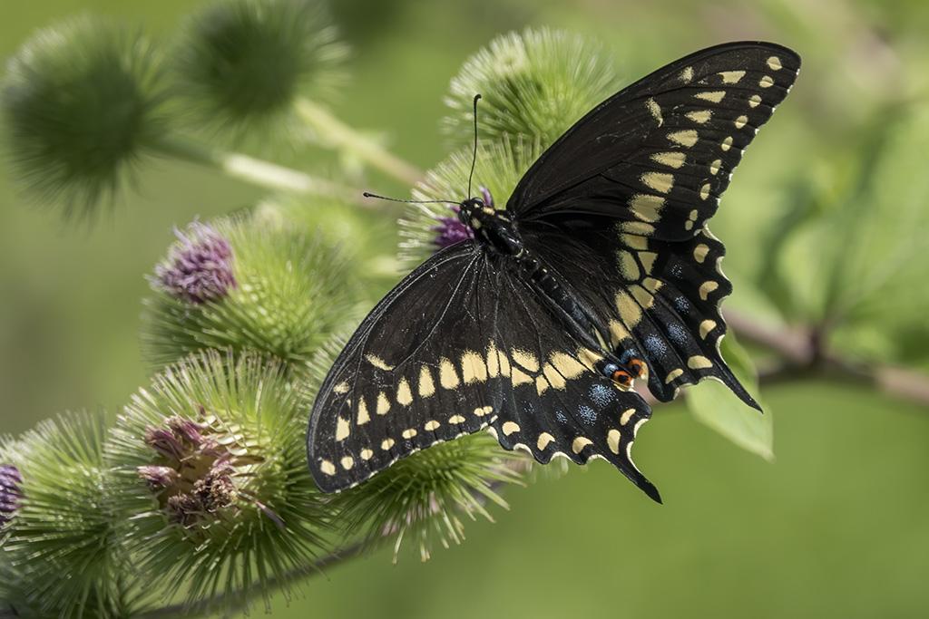 Papillon du Céleri Papill10